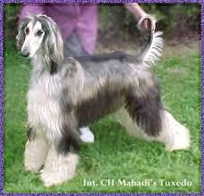 afghan hound national dog show afghan hound precious puppy pictures photos show dog beautiful
