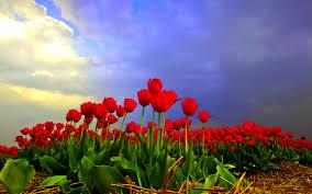 tulip fields wallpaper 1920x1200 55462