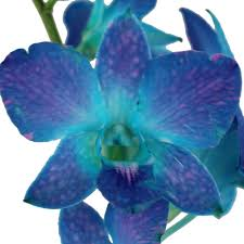 blue orchid flower raspberry orchid flower