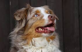 d b australian shepherds common australian shepherd health problems canna pet