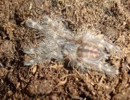 indian ornamental tarantulas spiderlings