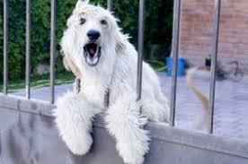pics of american eskimo dogs american eskimo dog