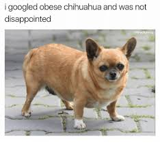 Meme Chihuahua - i googled obese chihuahua and was not disappointed chihuahua