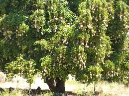 mango tree fruit trees pinterest mango tree and fruit trees