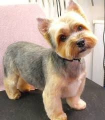 haircuts for yorkies with thin hair short yorkie haircut with teddy bear head pet lover pinterest