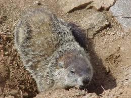 file groundhog lenoir nc usa jpg wikimedia commons