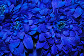 blue flowers real blue flowers photograph by riad belhimer