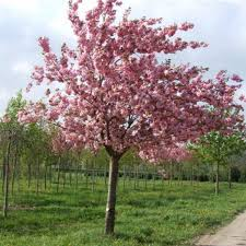 prunus kanzan flowering cherry blossom johnstown garden centre