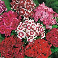 Sweet William Flowers Sweet William Monarch Mixed Seeds From Mr Fothergill U0027s Seeds And