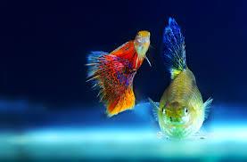 free stock photo of aquarium fish ornamental fish