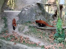 Columbus Zoo Lights by Red Pandas Columbus Zoo 9 13 Columbus Zoo And Aquarium