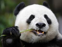 china u0027s panda diplomacy has entered a lucrative new phase