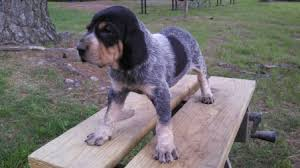 bluetick coonhound puppies for sale in louisiana female 4 jpg