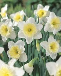 narcissi large cupped u0027ice follies u0027 daffodil from adr bulbs
