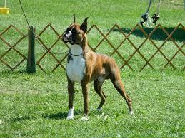 boxer dog shows 2016 essex county kennel club dog show colasanti u0027s tropical
