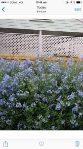 sweet viburnum 200mm pot viburnum 37 best kashlieandadam images on pinterest garden plants hedges
