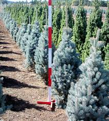 blue spruce spruce harmony road nursery