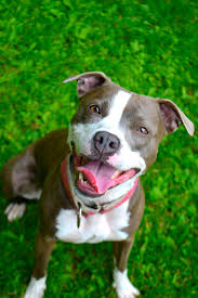 american pitbull terrier wanted love this face i prefer uncropped ears on pits funny
