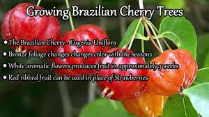 native plants of brazil growing brazilian cherry trees youtube