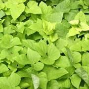 ipomoea batatas margarita ornamental sweet potato sweet potato