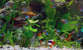 neon tetra fish facts care disease breeding tank mates pictures