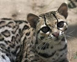 маргай — вид из семейства кошачьих