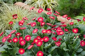 gerbera plant garvinea gerbera the power flowers kernock park plants