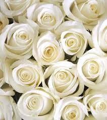 10 most beautiful white roses
