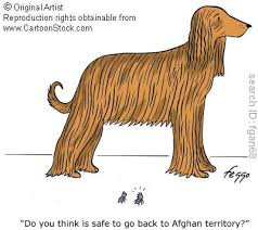 afghan hound ottawa molly u0027sblog may 2010
