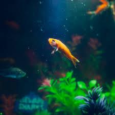 gold fish free stock photo
