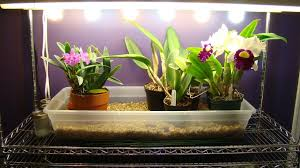 under cabinet grow light growing orchids under lights i www orchidsmadeeasy com