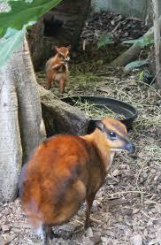 november birth animal mouse deer zooborns