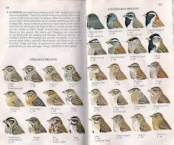 wishing it was a rufous winged sparrow doesn u0027t count the