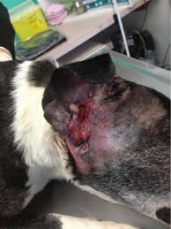 severely ulcerated ear in a dog purely earth