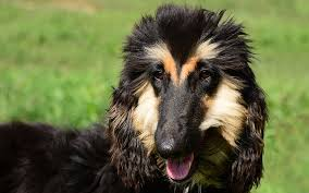 afghan hound weight afghan hound puppies breed information u0026 puppies for sale