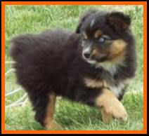 australian shepherd 14 weeks canadian breeder of blue eyed tri miniature u0026 toy australian