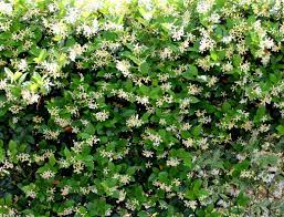 star jasmine on trellis confederate jasmine step by step instructions for growing in a