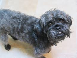 affenpinscher photos how to find out the breed of your dog u2013 future expat