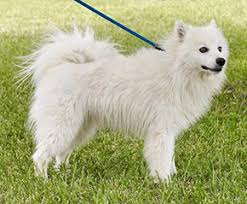 american eskimo dog puppies near me houston eskimo rescue american eskimo dogs