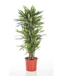 buy house plants now dracaena u0027cintho u0027 bakker com