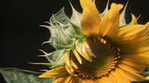 Life Of A Flower - from seed to flower science video pbs learningmedia