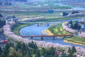 blossom trees row of cherry blossom trees of hinokinai river zekkei japan