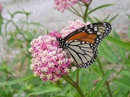 native plant seed planting milkweed wildflower seed u0026 native seed planting