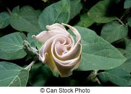 White Trumpet Flower - trumpet shaped flowers images and stock photos 241 trumpet shaped
