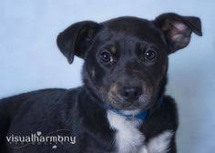 belgian sheepdog lab mix shar pei lab mix 5 month old needs a home so cute help find a
