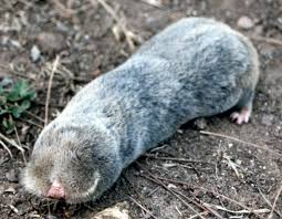 mole rats are resistant to chemically induced cancers