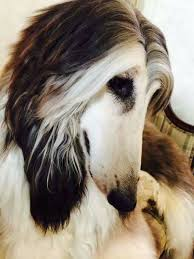 afghan hound judith light afghan hound nice top line and rear angulation afghan hound