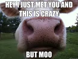 Funny Cow Memes - funny cow memes google search cow humor pinterest funny cows