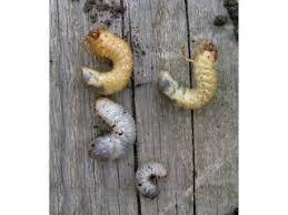 asticot blanc dans la cuisine ver blanc ou larve de hanneton