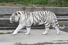 white tiger wikivisually